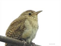 House Wren (Anton Shomali - Thank you for over 1 million views) Tags: nature backyardbird backyard flickr clouds sky small smallbird house wren bird housewren