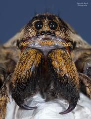 Hogna radiata (guitarmargy) Tags: ragno aracnide spider hognaradiata female bugshot closeup wildlife nature eyes cheliceri insects fauna animals ragnolupo eighteyes
