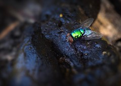 Yup, thats what it is! (johnsinclair8888) Tags: macromondays decay nikon fly dog rot stink 105mm johndavis d750 poop