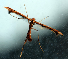 Plume moth on a dirty window (Matt C68) Tags: plume moth plumemoth insect nature