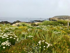 Dunes in Bloom (tmrae) Tags: carmel coastaltherapy pointlobos dunes bloom wildflowers