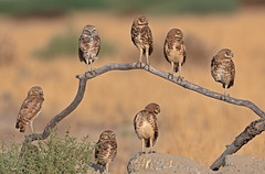 The family (knobby6) Tags: burrowingowls family california nikond500 500mmf4