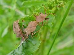 Corées marginées (coreus marginatus) (pierre.pruvot2) Tags: audinghen insectes invertébrés leshemmesdemarck fz1000 france pasdecalais