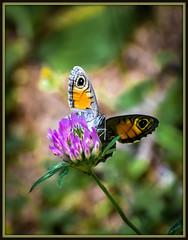 L'Ariane (watbled05) Tags: macro papillon herbe bokeh fleur feuilles