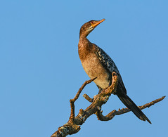 The Darter (Aubrey Stoll) Tags: darter bird tree branch africa pose blue sky milwane sanctuary wildlife reserve aves feathers predator resting southern swaziland eswatini nature outdoors snake long neck beak