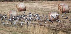 Piccioni - Pigeons (Jambo Jambo) Tags: uccelli birds pigeons piccioni estate summer grosseto maremma maremmacountryside maremmatoscana toscana tuscany italia italy trebbiatura threshing sonydscrx10m4 jambojambo