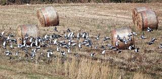 Piccioni - Pigeons