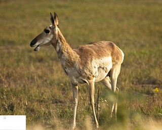 Female Pronghorn Sidelit