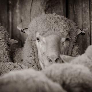 Waiting my turn in the shearing shed... #sheep #shearingshed #echuca #echucamoama #VisitTheMurray