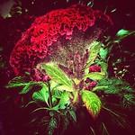 Toronto Ontario - Canada  - Edwards Garden -  Botanical Gardens -  Cockscomb Flower - Texture thumbnail