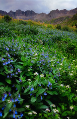 Rocky Mountain Wildflowers (Ryan C Wright) Tags: americanbasin lakecity sanjuanmountains colorado colorfulcolorado wildflowers mountains bluebells cowparsnip lupine wallart officedecor homedecor fineartphotography landscapephotography naturephotography nature landscape stockphotography