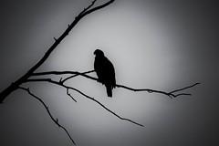 Eagle Silhouette (timvandenhoek1) Tags: eaglebluffsconservationarea missouri sonyilce6000 sonye55210mmzoomlens midwest baldeagle silhouette timvandenhoek