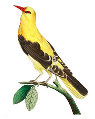 Golden Oriole or Golden thrush illustration from The Naturalist's Miscellany (1789-1813) by George Shaw (1751-1813) (Free Public Domain Illustrations by rawpixel) Tags: ake chim dicut film fon jite jubjang num ray teddy tong oriole otherkeywords thrush animal antique art bird cc0 creativecommon0 creativecommons0 design drawing georgeshaw goldenoriole goldenthrush graphic illustration isolated life name natural pdproject sketch thenaturalistsmiscellany vector vintage zoology