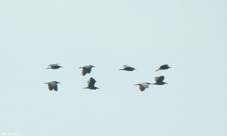 Night herons, migration