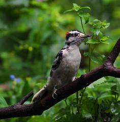 Downy woodpecker (male). (j.r.hoff) Tags: woodpecker downy