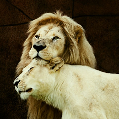 Feline Affection (Gene Mordaunt) Tags: lion lioness affection snuggle zoo torontozoo nikon810 sigma150500