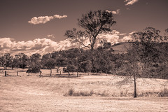 Rural Countryside in Sepia (Merrillie) Tags: landscape gumtree australia rural property newsouthwales trees country scenery tree cows acreage gresford farm sepia hill countryside