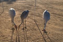 Brolgas (Joybelle007) Tags: brolgas birds australianbirds