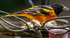 Stocking Up? (114berg) Tags: 13august18 mature male baltimore oriole grape jelly feeder geneseo illinois