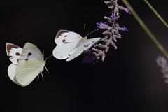Large White on lavender - Cavolaie sulla Lavanda (Andrea Lugli) Tags: butterfly pieris brassicae pieride cavolaia canon eos 60d sigma 150600 os dg hsm sport