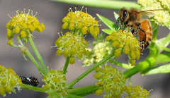 Strange Encounters (Ken L. Katz) Tags: insects garden pollinator nature nikond90 oakland ca bugs honeybee bee caterpillar instar swallowtail lovage flower