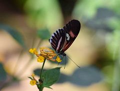 Butterfly- Papallones (toni baeza oto) Tags: papallona empúries macro park