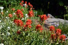 Indian Paintbruse (jimculp@live.com / ProRallyPix) Tags: mountrainiernationalpark washington nps mountain