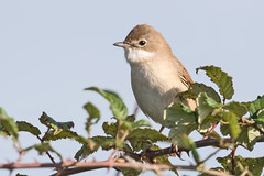 Whitethroat (drbut) Tags: whitethroat sylviacommunis bird birds avian animal trees insects wildlife nature canonef500f4lisusm