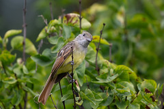 Great-crested Flycatcher Fledgling-49135.jpg (Mully410 * Images) Tags: birdwatching birding backyard greatcrestedflycatcher bird birds flycatcher birder fledgling