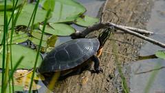 Tortue - turtle, Île Petrie, Ottawa - 7574 (rivai56) Tags: tortue turtle îlepetrie ottawa 7574 ontario canada ca beauté de la nature peinte