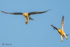 DSC02429 (sha lu) Tags: whitetailed kite food exchange