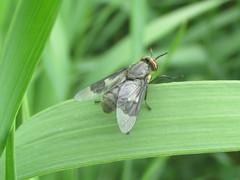 Deer fly (tigerbeatlefreak) Tags: deer fly diptera tabanidae nebraska