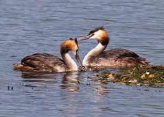 First Born (Nigel B2010) Tags: great crested grebe nature wildlife outdoors attenborough reserve summer chick august
