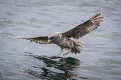 GWB_20180717_2331 (Turk Images) Tags: britishcolumbia fulmarusglacialis northernfulmar pacificocean birds nofu procellariidae seabirds marine