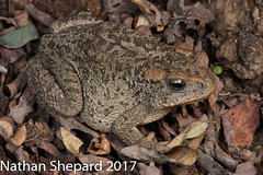 Bufo mexicanus (Nathan Shepard) Tags: bufo mexicanus sierra madre occidental sonora mexico mx mexican toad herpetology biology ecology amphibian mountain montane isolated nathan shepard canon 70d photography frog anuran