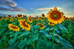 More Sunflowers (Greg from Maine) Tags: sunflowers sunflower sunflowerfield maine agriculture seeds nature landscape farming buckfarms mapleton mapletonmaine aroostookcounty
