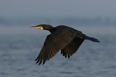 Cormorant in flight (nikodemmatuszkiewicz) Tags: wildlife wild wildlifephotography wildlifebeauty wildanimals waterbirds wildbirds nature noncaptive naturespectacle animals animalphotography animalplanet birds birdphotography bird breedingseason seaside seabirds cormorant