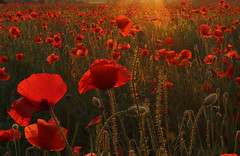 Poppies (davva73) Tags: poppies poppy flower wildflower nature landscape canon canoneos countrylife midlands uk greatbritain