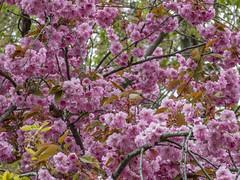 Spring in Stockholm, Sweden -Explored 20/06/2018- (PriscillaBurcher) Tags: cherryblossom djurgården stockholm sweden floweringtree explored l1660110