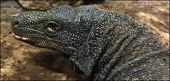 VS3 MALE SORONG VARANUS SALVADORII (Tarantula Fan) Tags: vs3 male sorong varanus salvadorii crocodile monitor lizard