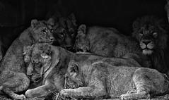 Lion (vanregemoorter) Tags: félin animaux zoo blackandwhite monochrome leon
