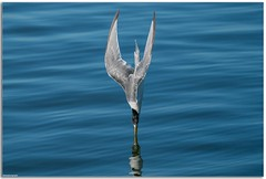 Direct entry....... (Mykel46) Tags: water fishing fast 100400mm a9 sony wildlife nature birds bif diving