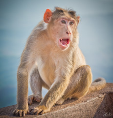 D75_3600 (@sumitdhuper) Tags: wallshare beauty monkey wildlife expression nature
