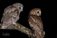 Tawny Owl and Owlet (Ian howells wildlife photography) Tags: ianhowells ianhowellswildlifephotography wildlife wales wildlifephotography wildbird wild springwatch tawnyowl tawny owl owlets nature naturephotography