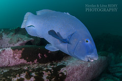 Blue groper on rocky bottom (Nicolas & Léna REMY) Tags: nsw marinelife underwater ocean sharkpoint grouper australia wildlife fish bluegroper sydney nauticam inon pacificocean diving easternbluegroper mer mérou photography plongée poisson scuba sea wild