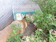 Freeing the bunnies (simonov) Tags: sylvilagusaudubonii baby bunny desert cottontail reno hiddenvalley bella dog hund chien 狗 σκύλοσ madra cane 犬 perro 개 سگ собака الكلب germansheprador