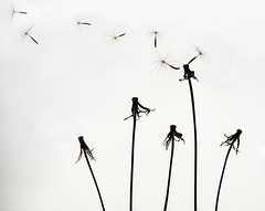 blowing away (marianna_a.) Tags: dandelion airborne flying up skyward high free macro seeds mariannaarmata goatsbeard