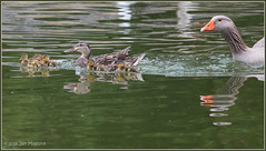 Life Ain't Easy 4055 (maguire33@verizon.net) Tags: frankgbonelliregionalpark bird duck female mallard mother motherhood wetlands wildlife sandimas california unitedstates us