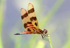 Halloween Pennant Dragonfly (ksblack99) Tags: watkinslakestatepark brooklyn michigan halloweenpennant dragonfly allfreepicturesaugust2018challenge