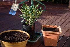 Getting Ready to Be Planted (Jocey K) Tags: newzealand nikond750 bankspeninsula southisland akaroa pots plants spade